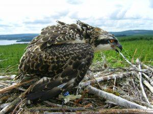 Osprey bird on nest Osprey Watch