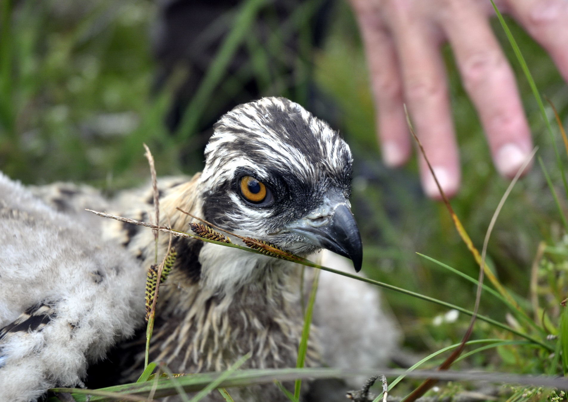 One of two chicks raised in 2011 and spotted on Osprey Watch