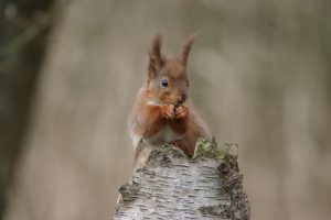 Red squirrel in kielder